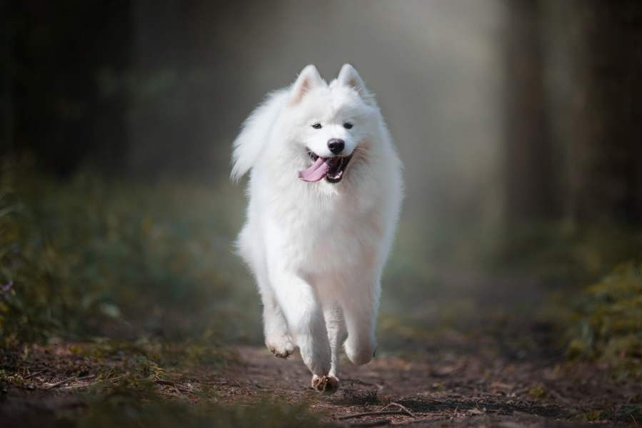 Samoyed Dog Breed - Complete Profile, History, and Care. https://www.petspalo.com