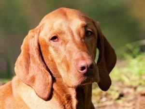 Vizsla Dog Breed - Complete Profile, History, and Care. https://www.petspalo.com
