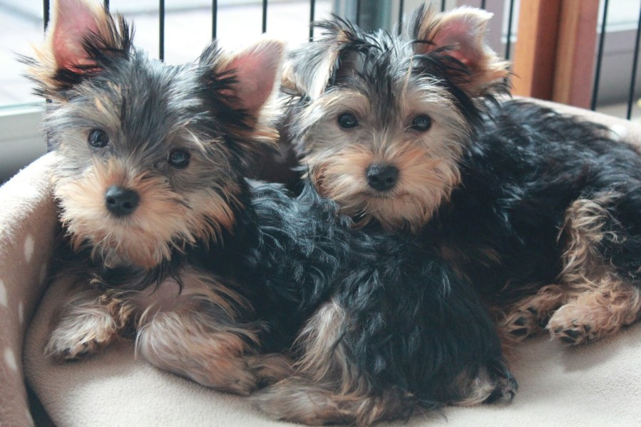 Yorkshire Terrier Dog Breed - Complete Profile, History, and Care. https://www.petspalo.com