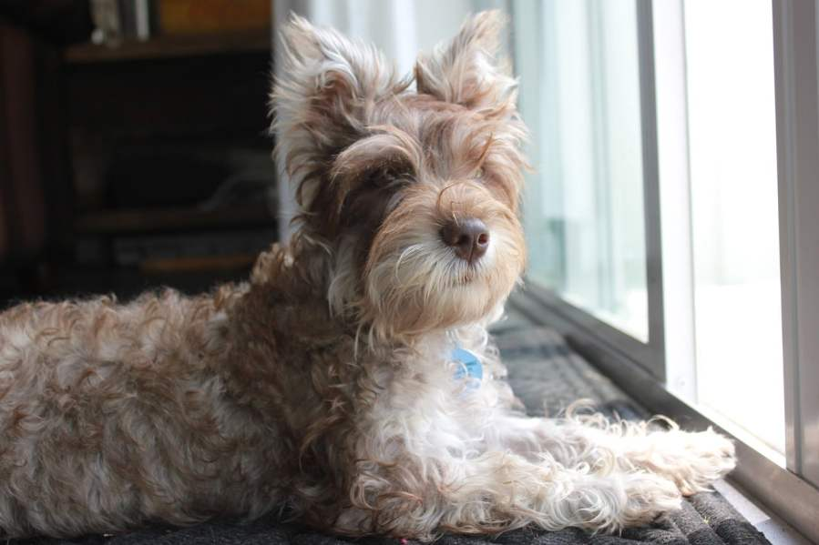 Miniature Schnauzer Dog Breed - Complete Profile, History, and Care. https://www.petspalo.com/