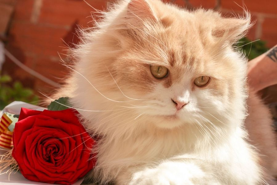 Persian Cat Breed – Complete Profile, History, and Care. https://www.petspalo.com/