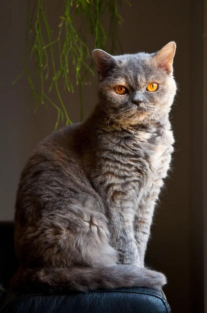 10 Best Hypoallergenic Cat Breeds in 2021. https://www.petspalo.com/