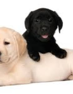 Commercially made food also foods you must feed  labrador guide to how your lab pets rh petsworld
