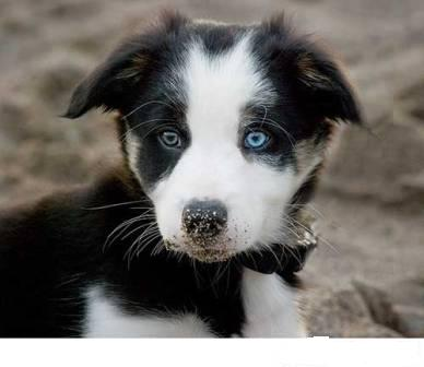 dogs breeds with blue