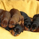 Buy Sell Adopt Doberman Puppies In India