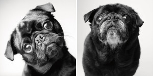Pug at 2 years and ten years.  Don't feed your pet table scraps and oily human food. Stick to a breed and age specific dog diet. Alongside follow a fixed feeding schedule. Consult your vet to include fresh vegetables that is safe for your dog to consume in its meals.  (Image-boredpanda.com)