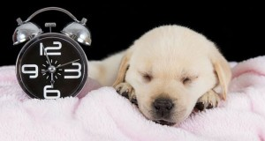 Once fed, remove any left-over food and only offer the next meal at the scheduled time. Image - www.totallygoldens.com
