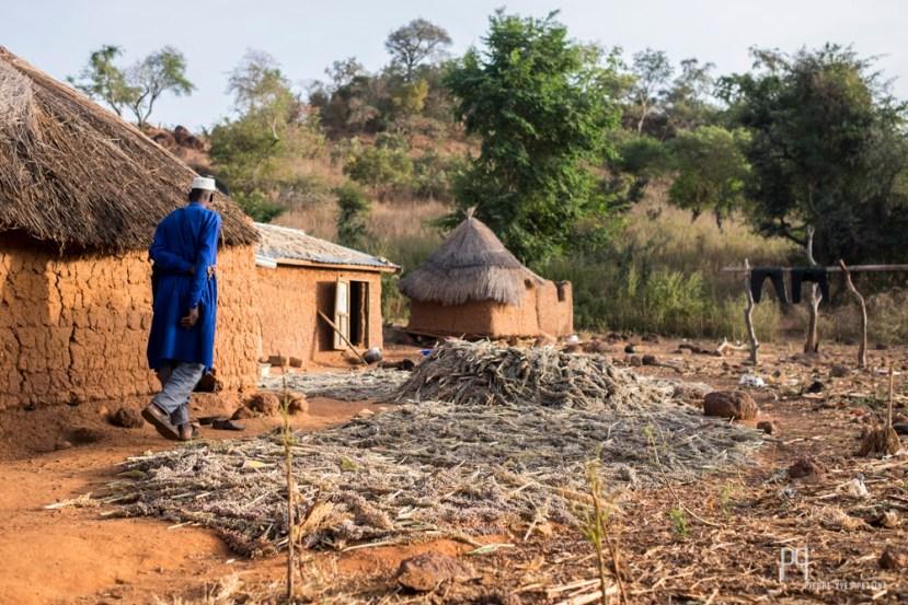 Une fois le sorgho récolté, il est séché avant d'être stocké dans des greniers sur le toit des maisons.