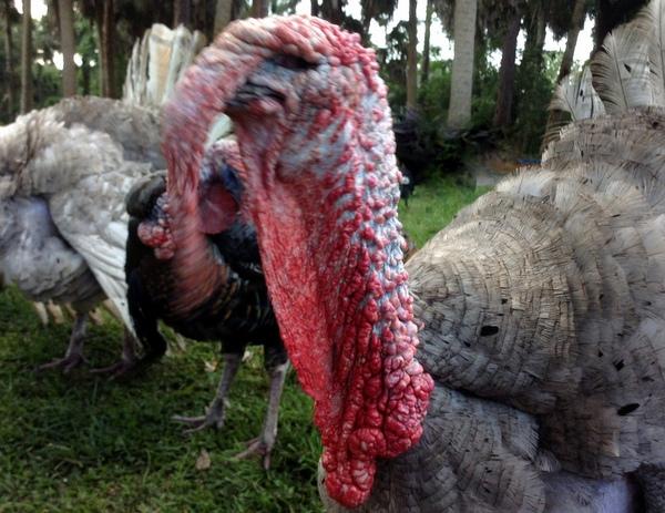 Why Not To Own Backyard Turkeys