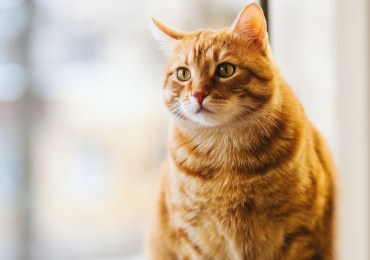 9 Ways to Tell if Your Cat is Pregnant