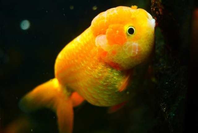 Peixe dourado de aquário: saiba tudo sobre a espécie
