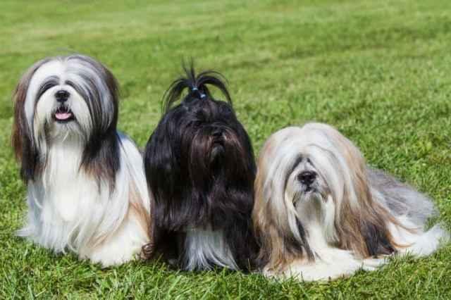 três lhasa apso