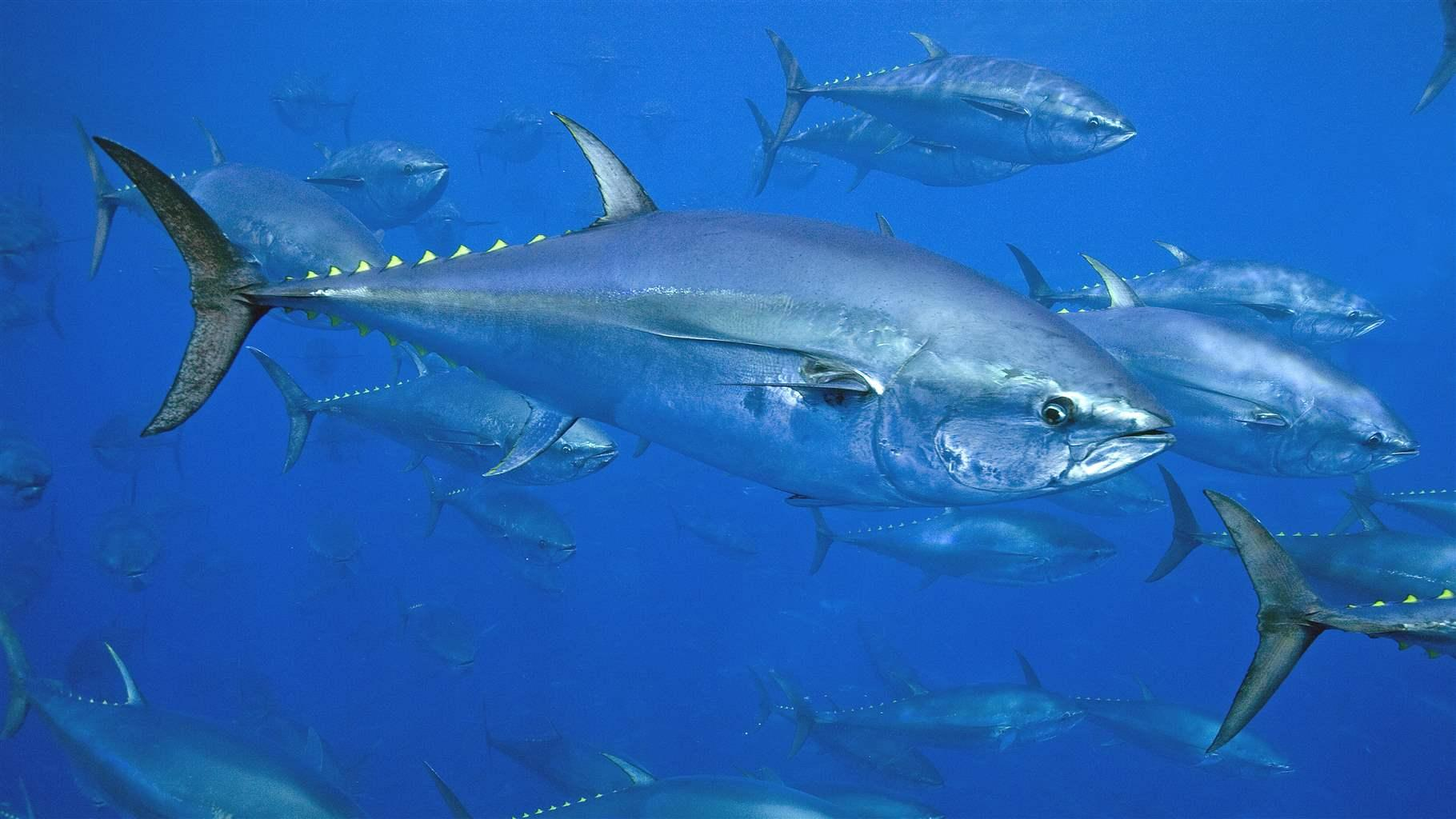 hight resolution of huge fishing bust exposes weaknesses in bluefin tuna management