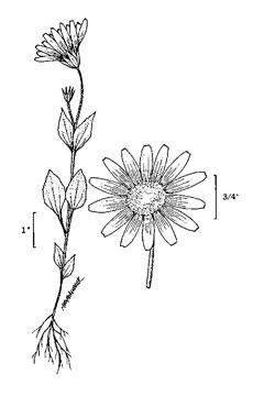 Arnica diversifolia Rayless arnica PFAF Plant Database