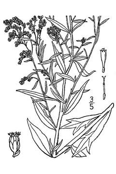 Artemisia ludoviciana White Sage, Louisiana Sage, Prairie