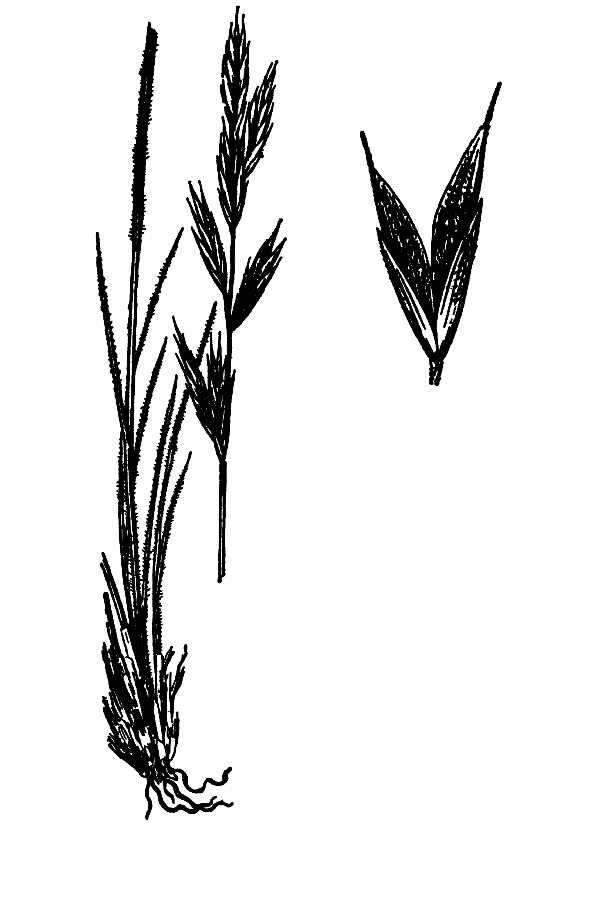 Bromus Mountain Brome PFAF Plant Database