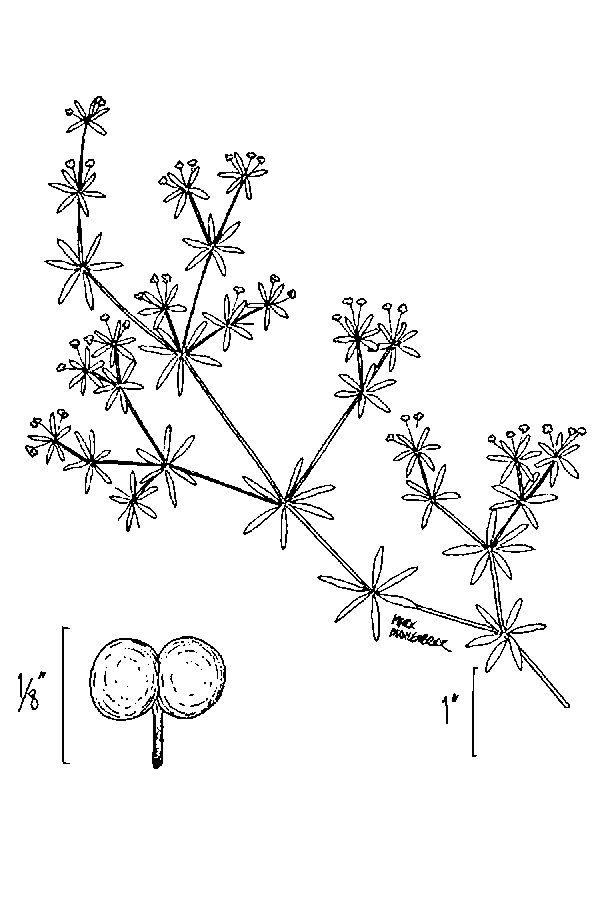 Galium tinctorium Threepetal Bedstraw PFAF Plant Database