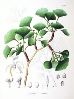 Ginkgo Biloba Maidenhair Tree Ginkgo PFAF Plant Database