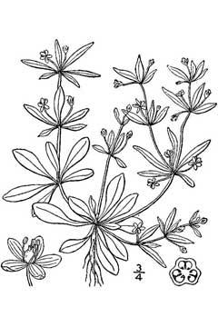 Mollugo verticillata Indian Chickweed, Green carpetweed