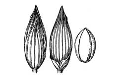 Panicum sonorum Sauwi, Mexican panicgrass PFAF Plant Database