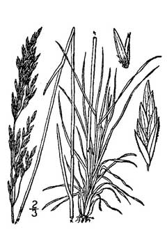 Poa scabrella Pine Bluegrass PFAF Plant Database