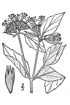 Pycnanthemum incanum Hoary Mountain Mint PFAF Plant Database