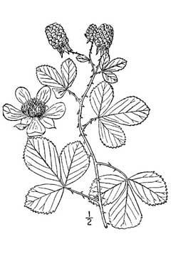 Rubus cuneifolius Sand Blackberry PFAF Plant Database