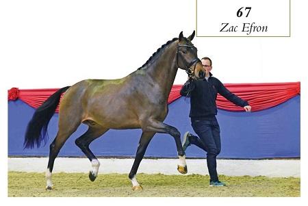 Oldenburger Frühjahrskörung – Siegerhengst Zac Efron v. Zack x Don Larino nach Österreich verkauft