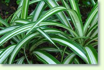 Grnlilie Pflege  Pflanzenfreunde