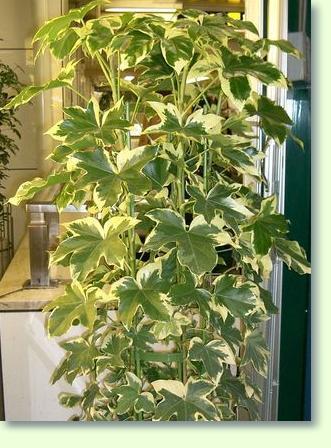 Efeuaralie Pflege  Pflanzenfreunde