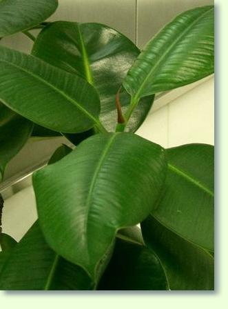 Ficus Elastica Pflege  Pflanzenfreunde