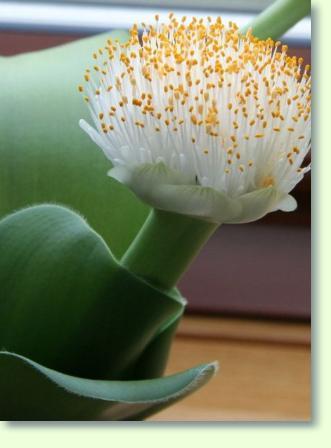 Zimmerpflanzen mit E  Pflanzenfreunde