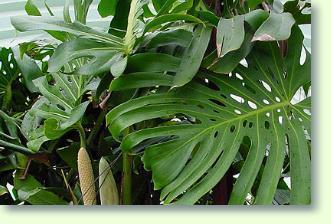 Fensterblatt Pflege  Pflanzenfreunde