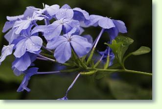Plumbago Bleiwurz Pflege  Pflanzenfreunde