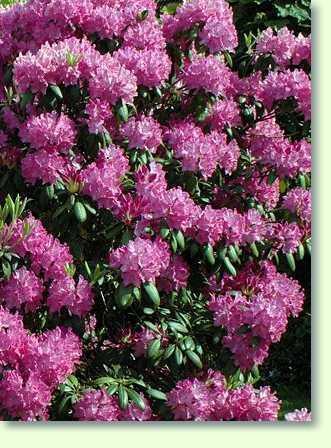 Azaleen Pflege  Pflanzenfreunde
