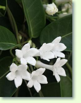 Stephanotis erfolgreich pflegen  Pflanzenfreunde