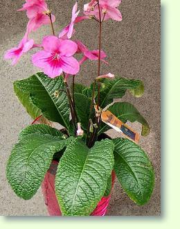 Streptocarpus Pflege  Pflanzenfreunde