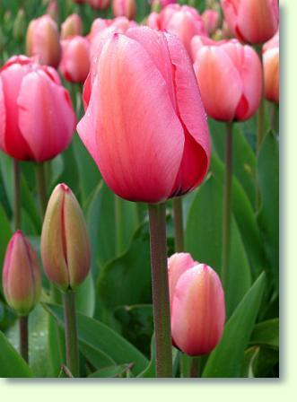 Tulpen Steckbrief
