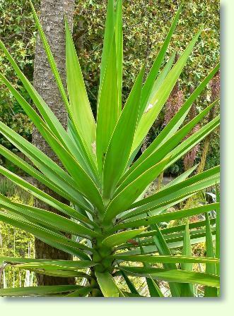 Palmlilien Pflege  Pflanzenfreunde