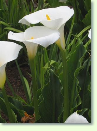 Kalla Pflege  Pflanzenfreunde