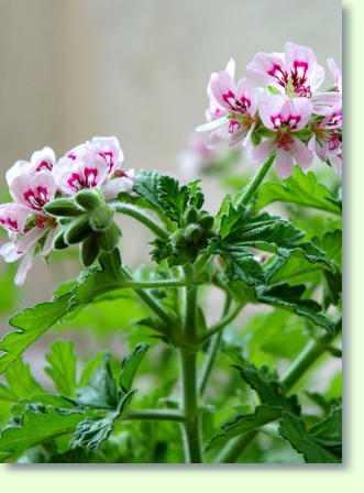 Geranien Pflege  Pflanzenfreunde