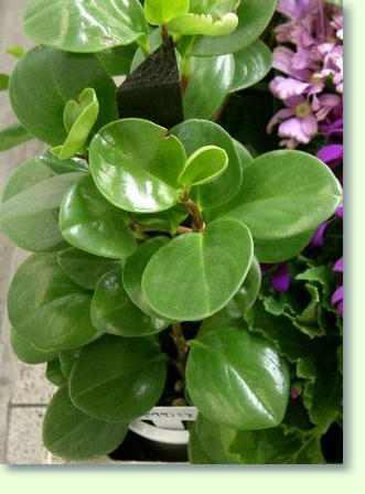 Peperomia Pflege  Pflanzenfreunde