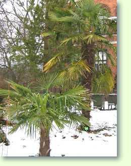 Die richtige Palme fr den Garten kaufen