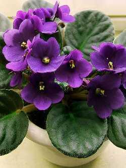 Saintpaulia  Pflege von Zimmerpflanzen  Pflanzenfreunde