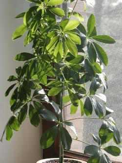 Schefflera  Pflanzenfreunde