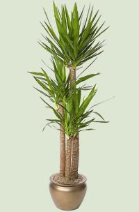 Palme Zimmerpalmen  Pflanzenfreunde
