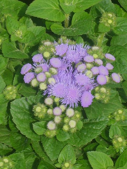 Leberbalsam  Sommerblumen im Garten