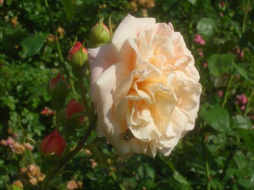 Englische Rosen  Pflanzenfreunde