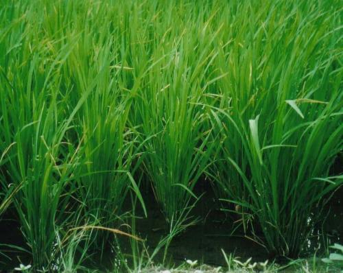 Reis Heilpflanzen Amp Heilkruter