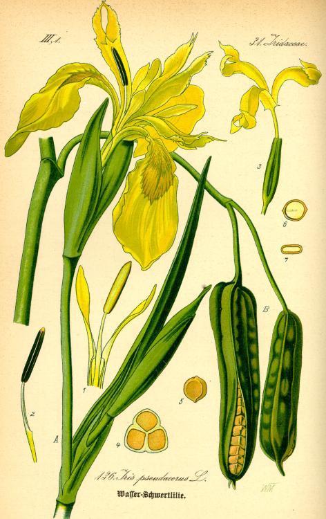 Sumpfschwertlilie Heilpflanzen  Heilkruter
